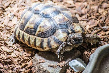Turtle Testudo Marginata european landturtle eat 7 Stock Photo