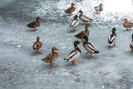 Ducks swans birds winter frozen lake ice Stock Photo