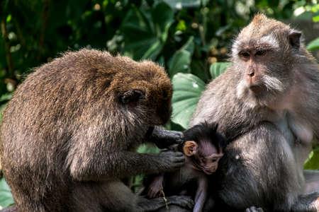 ubud: Bali Indonesia Ubud Monkey Forest Family