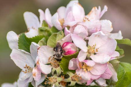 apple blossom tree bumble honey bee flower collecting pollen closeup makro