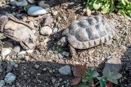 Turtle Testudo Marginata european landturtle wildlife free eating Stock Photo