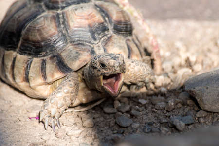 Turtle Testudo Marginata european landturtle closeup wildlife with open mouth