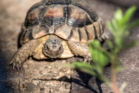 Turtle Testudo Marginata european landturtle closeup wildlife free