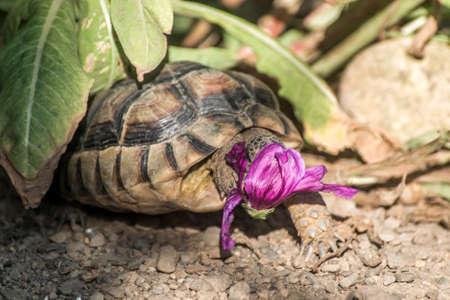 Turtle Testudo Marginata european landturtle eating a purple flower closeup wildlife