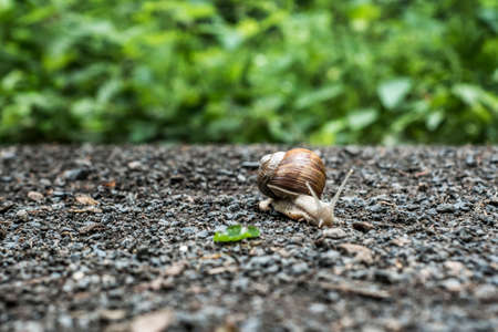 Burgundy snail Helix on the forest surface in natural environment macro close-up images of nature focus depth