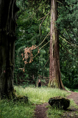 huge tree: German National Park hiking girl on trail beside a huge old mammoth tree