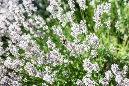 pollinators: Bumblebees collecting pollen from white lavender flowers in the garden Nature Landscape Background