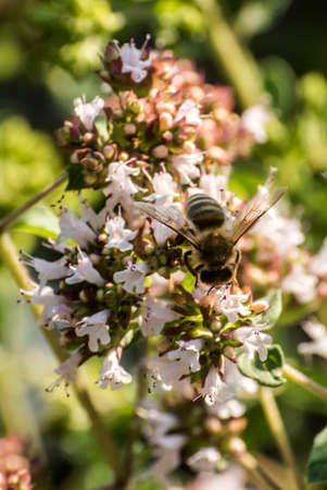 close up of a honey bee extracting nectar form the blooms on a oregano plant in an organic garden