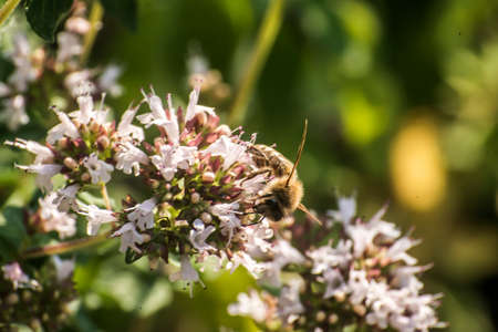 pollinators: close up of a honey bee extracting nectar form the blooms on a oregano plant in an organic garden