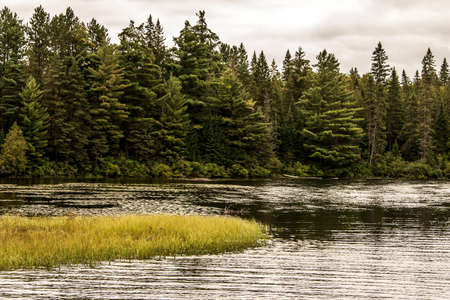 Grey Heron hunting fish flooded area in Ontario Canada lake of algonquin national park on the background