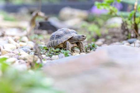 Turtle Testudo Marginata european landturtle closeup wildlife Imagens