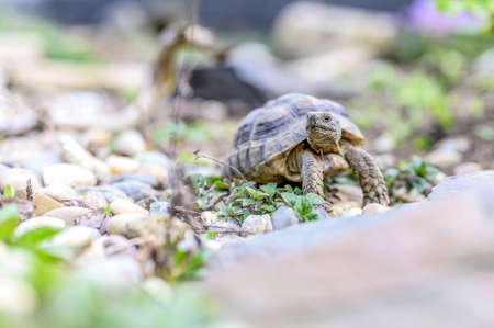 Turtle Testudo Marginata european landturtle closeup wildlife Stock Photo