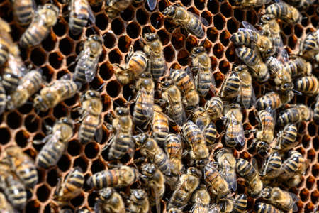 closeup of bees on honeycomb in apiary Honey bee selective focus
