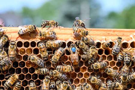 blauwe markering koningin Bee aan het werk Honingbijen bijenkorf Wax Frame bijenteelt
