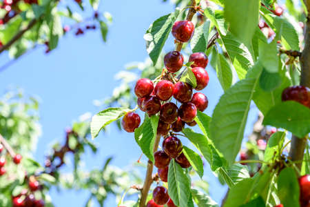 Sweet cherry red fruits berries hanging on a tree branch close up ready to eat sweet delicious Banco de Imagens