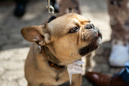 Brown bulldog during a wedding with a white band dress