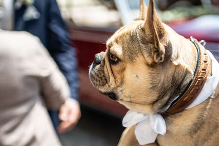 Brown bulldog sniffs in the hand of the groom during a wedding with a white band dress 스톡 콘텐츠