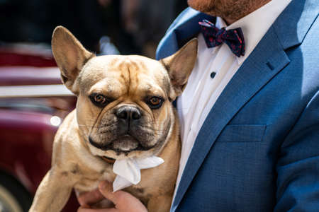 Brown bulldog sniffs in the hand of the groom during a wedding with a white band dress Stok Fotoğraf