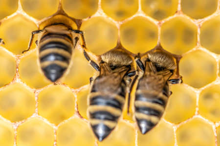 closeup macro of bees on wax frame honeycomb in apiary Honey bee hive with selective focus.