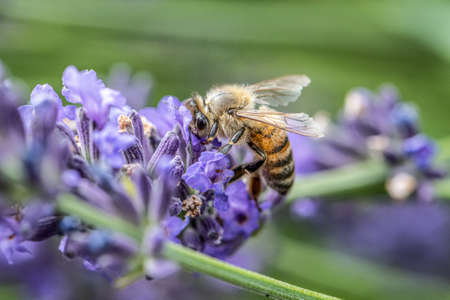 close up of a honey bee extracting nectar form the blooms on a lavender plant in organic garden