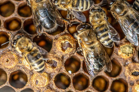 Sealed brood of Honey bees in apiary of beekeeper in hive Nurse bees on the frame with the beeswax and propolis colony