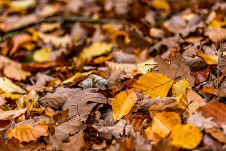 brown acorns on autumn leaves fall season background close up