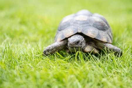 Turtle Testudo Marginata european landturtle walking on green grass closeup wildlife