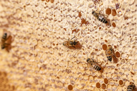 closeup of bees on honeyframe closed with wax in apiary beehive selective focus