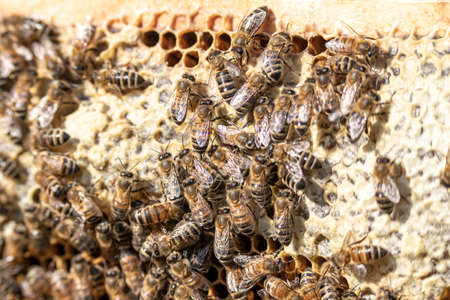 closeup of bees on honeycomb in apiary frame Honey bee selective focus Standard-Bild