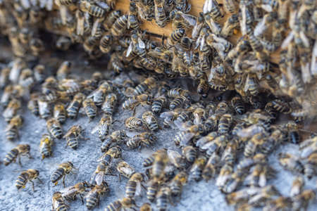 Close up of huge crowd of honey bees flying into beehive apiary Working bees collecting yellow pollen