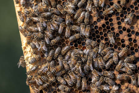 closeup of bees on honeycomb in apiary frame Honey bee selective focus Imagens