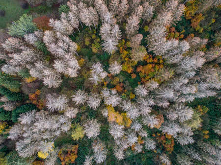 Aerial view green, orange and red autumn forest, with bark beatle infected dead trees different colors germany