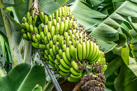 Detail of a bunch of small bananas growing on a banana tree on madeira island portugal