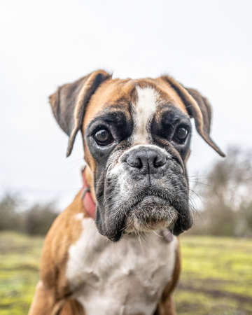 funny face 9 months old purebred golden puppy german boxer dog closeup Stock Photo