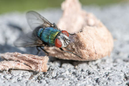 house fly in extreme close up sitting on piece dog food. Picture taken on grey wall