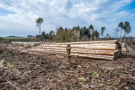 chopped Woodland new plantation Germany replanted with new sapling deciduous trees protected with plastic tubes