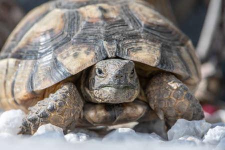 Turtle Testudo Marginata european landturtle closeup wildlife Banco de Imagens