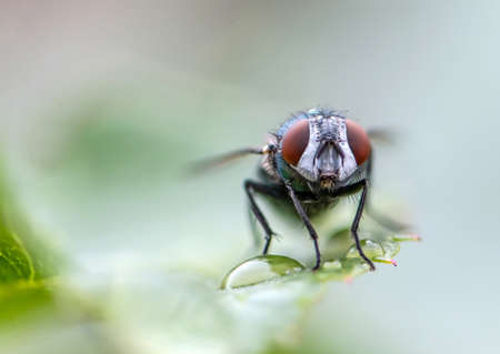 house fly in extreme close up sitting on green leaf. Picture taken before grey background Banco de Imagens