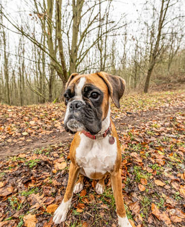 funny face 9 months old purebred golden puppy german boxer dog closeup 免版税图像