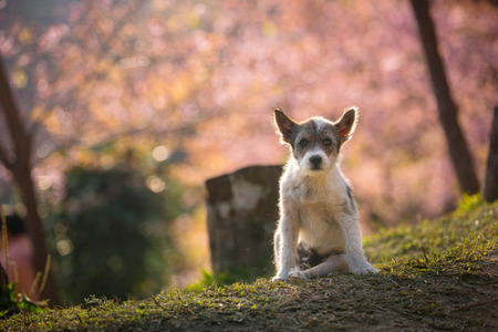 poorly: The little dog and Pink Cherry blossom at Khun Chang Kian the most popular place for Cherry blossom viewing in Chiang Mai Thailand Stock Photo