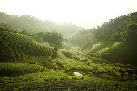 Tea Plantation Doi Mae Salong Chiang Rai Thailand
