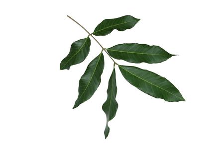 longan: Longan leaves isolate on white background