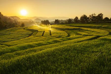 Barley Field Sunset at Samoeng Chiang Mai Thailand