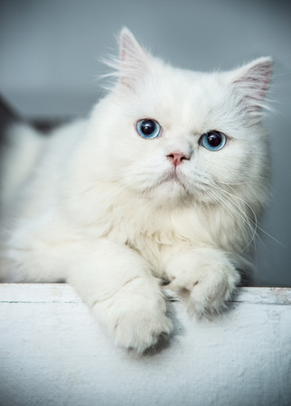 animal eyes: White and blue eyes Persian cats