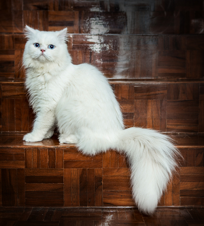 white cats: White and blue eyes Persian cats