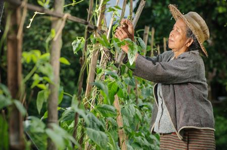 underdeveloped: Asian grandmother pick vegetable