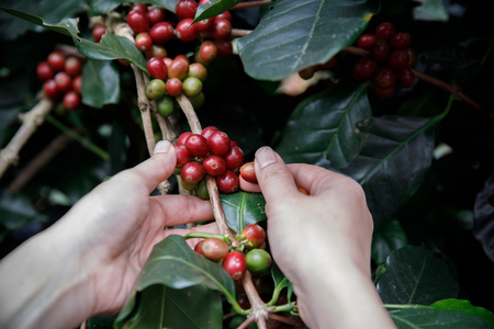 Close up hand picking coffee red beans on coffee tree
