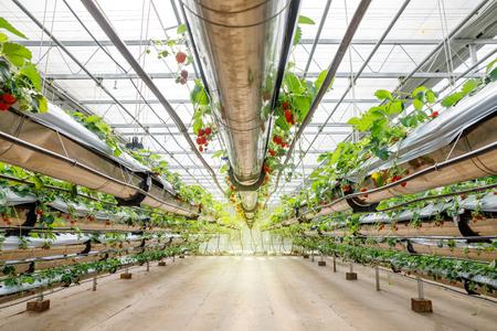 Organic hydroponic Strawberry in The Modern Big Greenhouse Stock Photo