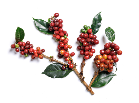 Close up fresh organic red coffee beans with coffee leaves isolated on white background