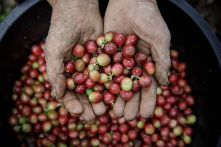 Close up hand holding fresh coffee beans